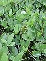 Menyanthes trifoliata kz11.jpg