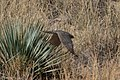 Merlin (Prairie) Price Canyon Portal AZ 2017-11-22 12-52-44 (39042465912).jpg