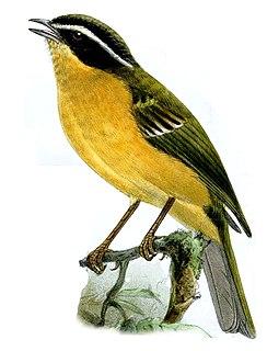 Three-striped hemispingus species of bird