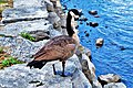 Migrant goose staring at the Ottawa river - panoramio.jpg