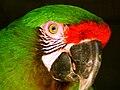 Military Macaw 01.jpg