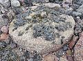 Millstones Harbour, Fairlie, North Ayrshire - one of the old breakwater millstones.jpg