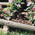 Mockingbird Feeding Chick008.jpg