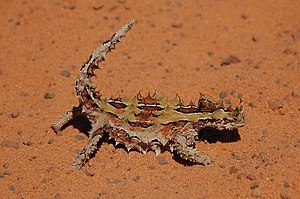 Hygroscopy - The thorny dragon features hygroscopic grooves between the spines of its skin to capture water in its desert habitat.
