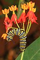 Monarch - Danaus plexippus on Tropical Milkweed, Fairchild Tropical Gardens, Coral Gables, Florida (32541189156).jpg