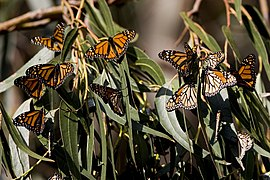 Monarch Butterflies at Sweet Sprints in Los Osos (Baywood), CA - photos by Mike Baird, bairdphotos.com 01.jpg