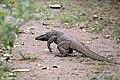 Monitor Lizard. (27226254159).jpg
