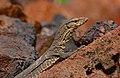 Monitor Lizard Varanus by Vedant Kasambe 02.jpg