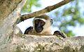 Monkey, Uganda (15024346218).jpg
