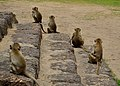 Monkeys in Lopburi.JPG