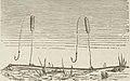 Montpetit - Poissons d'eau douce du Canada, 1897 (page 394 crop)b.jpg
