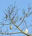 Morey Mansion, Cedar Waxwings in Kapok Tree 03-25-12c (7021578169).jpg