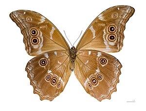 Morpho didius - Ventral view of same specimen