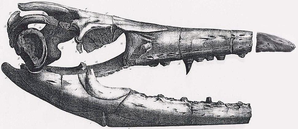 Mosasaurus missouriensis