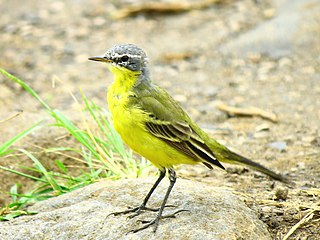 Eastern yellow wagtail Species of bird