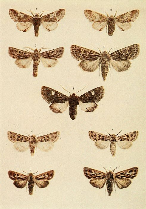 Moths of the British Isles Plate127.jpg