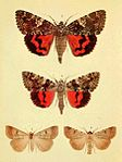 Moths of the British Isles Series2 Plate032.jpg