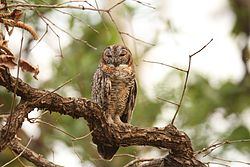 Mottled wood owl David Raju.jpg