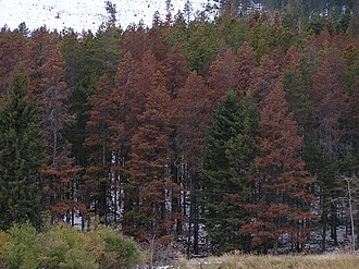 Deforestation in British Columbia - A stand of trees affected by Mountain Pine Beetles in Massachusetts, USA