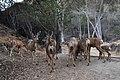 Mule Deer (Odocoileus hemionus) herd.jpg