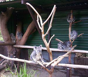 Lone Pine Koala Sanctuary - Image: Mums and Bubs