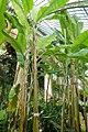 Musa acuminata - Laeken Royal Greenhouses - Royal Castle of Laeken - Brussels, Belgium - DSC07438.jpg