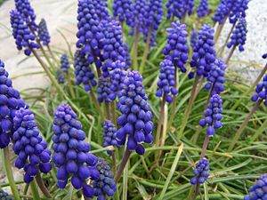 Muscari armeniacum - Flowering plants