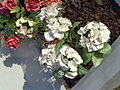 My Flowers 15.JPG