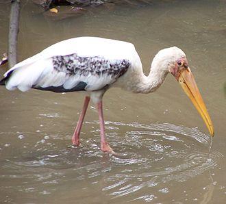 Milky stork - Image: Mycteria leucocephala at Sungei Buloh