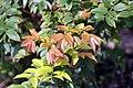 Myrciaria cauliflora 26zz.jpg