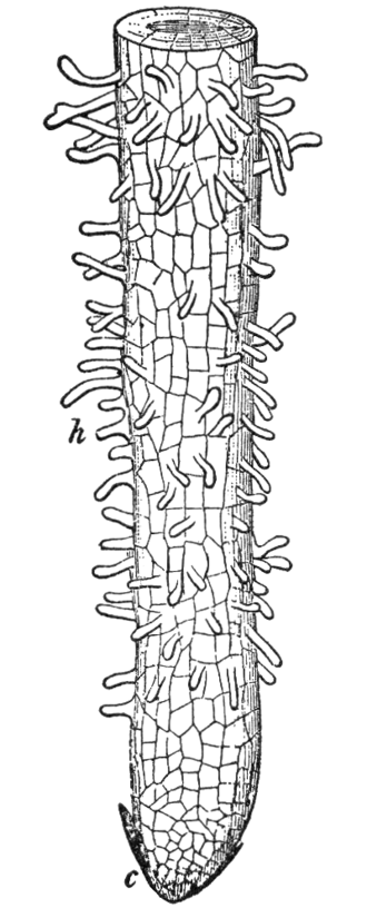 Root hair - Drawing of root tip, showing young root hairs