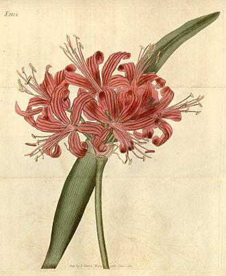 Nerine - Herbert's 1820 illlustration of N. rosea (N. sarniensis)