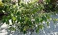 Napoleonaea imperialis - Naples Botanical Garden - Naples, Florida - DSC09908.jpg