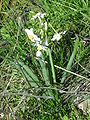Narcissus4797.JPG