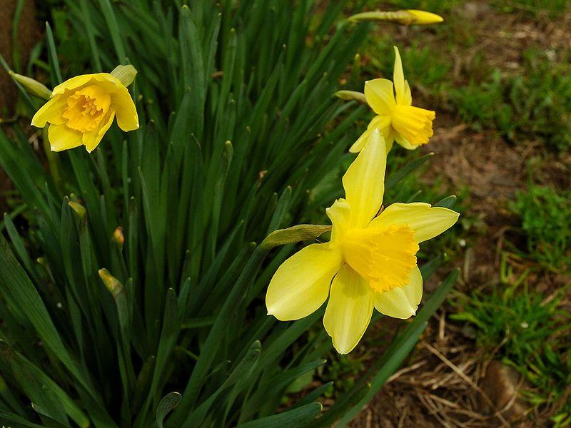 ファイル:Narcissus 2005 spring 001.jpg