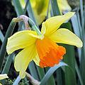 Narcisus flower1.jpg
