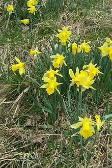 Narcissus plant wikipedia n pseudonarcissus growing in the perlenbach fuhrtsbachtal reserve in germany mightylinksfo