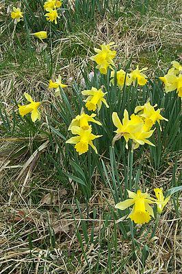 Wilde Gelbe Narzissen (Narcissus pseudonarcissus) im Perlenbachtal