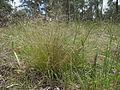 Nassella trichotoma plant7 (7185649223).jpg