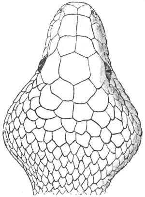 Natural History Reptilesophidia