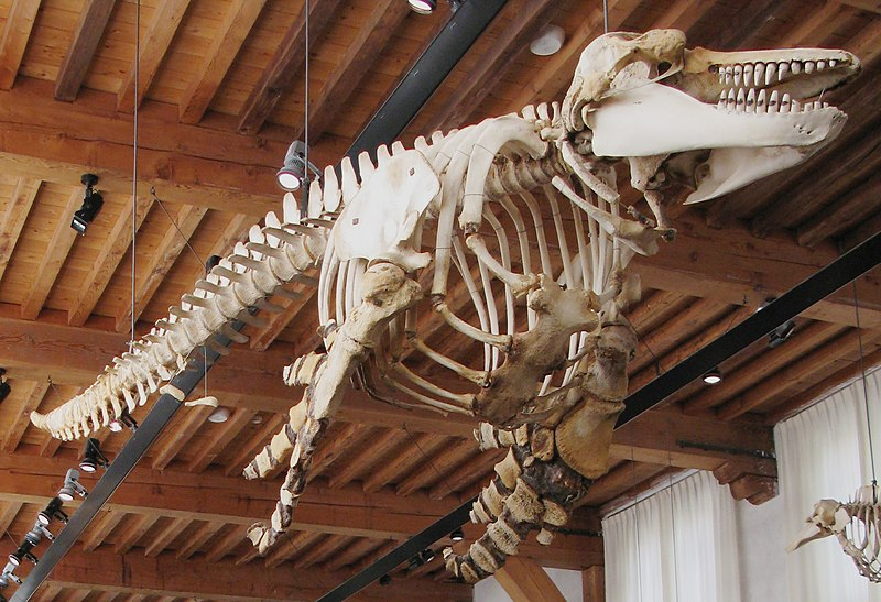 Naturalis Biodiversity Center - Museum - Workshop - Lecture hall, killer whale skeleton suspended from ceiling2.jpg