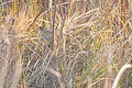 Nelson's Sparrow (Ammodramus nelsoni) (22224365600).jpg