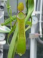 Nepenthes reinwardtiana1.jpg