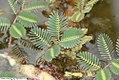 Neptunia oleracea 2zz.jpg