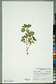 Neuchâtel Herbarium - Mentha x piperita - NEU000100348.jpg