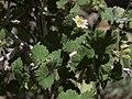 Nevada ninebark, Physocarpus alternans (32910496538).jpg