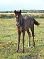 New Forest pony foal, Broomy Plain - geograph.org.uk - 1348882.jpg