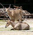 Nilgauantilope Boselaphus tragocamelus Tierpark Hellabrunn-5.jpg