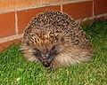 Nocturnal visitor. (6193428602).jpg