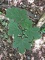 Noordwijk - Gewone esdoorn (Acer pseudoplatanus).jpg